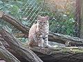 Tierpark Cottbus Rotluchs 1.JPG