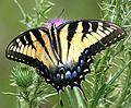 Tiger Swallowtail (2661174373).jpg