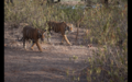 Tiger in Ranthambore 32.png