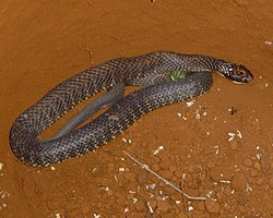 Tiger snake - Wikipedia, the free encyclopedia