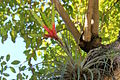 Tillandsia fasciculata (11122188425).jpg