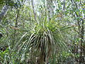Tillandsia fasciculata - Guadeloupe.JPG