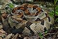 Timber Rattlesnake (Crotalus horridus) - Flickr - 2ndPeter.jpg