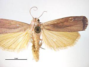 Tirathaba rufivena - Male