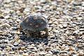 Tortoise (young)-Bentsen-Rio Grande SP-TX - 2015-05-09at09-44-127 (21420853828).jpg