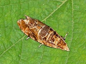Lobesia botrana - Adult of Lobesia botrana