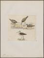 Totanus glottis - 1820-1860 - Print - Iconographia Zoologica - Special Collections University of Amsterdam - UBA01 IZ17400127.tif