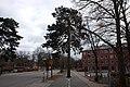 Träd mitt i gång- och cykelvägen.jpg