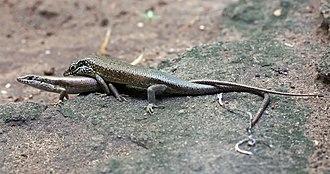 Squamata - Trachylepis maculilabris skinks mating