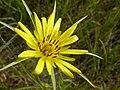 Tragopogon dubius (3624892903).jpg