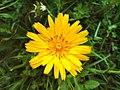 Tragopogon pratensis flower.jpg