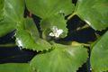 Trapa natans flower.jpg