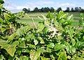 Traveller's Joy (clematis vitalba) - geograph.org.uk - 1503383.jpg