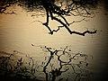 Tree branches in Hoan Kiem Lake near Ngoc Son Temple.jpg