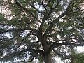 Tree of Life. Coral Gables.... - panoramio.jpg