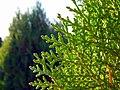 Trees in iran-qom city -پوشش گیاهی و درختان استان قم 14.jpg