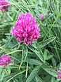 Trifolium alpestre, Люлин планина.jpg