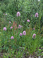 Trifolium medium Kiiminki, Finland 25.06.2013.jpg