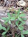Trifolium monanthum tenerum 2102166.jpg
