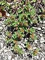 Trifolium scabrum sl10.jpg