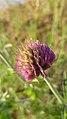 Trifolium thompsonii 5.jpg