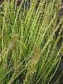 Triglochin maritimum inflorescence (01).jpg