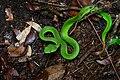 Trimeresurus popeiorum, Pope's pit viper (in situ) - Kaeng Krachan National Park (35563470575).jpg