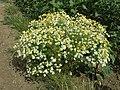 Tripleurospermum inodorum sl13.jpg