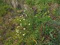 Tripleurospermum maritimum subsp inodorum plant5 (16378578485).jpg