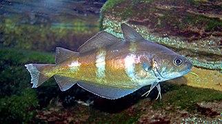 Trisopterus luscus 01
