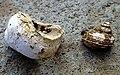 Tropidophora carinata Reunion.jpg