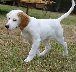 English Setter - An English Setter puppy when the colour markings on the body are not yet fully developed.