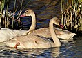 Trumpeter Swan Cygnets on Seedskadee National Wildlife Refuge (21719624154).jpg