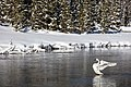 Trumpeter Swan on the Firehole River (2) (bae5ab8a-4b23-4f57-acc1-da8ca43c8d50).jpg
