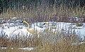 Trumpeter swans (11088342383).jpg