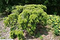Tsuga canadensis Pendula 3zz.jpg