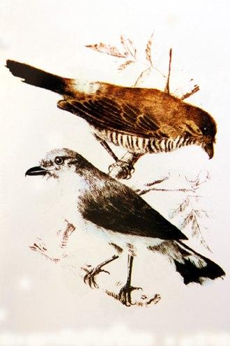 Réunion cuckooshrike - Image: Tuit tuit illustration