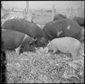 Tule Lake Relocation Center, Newell, California. A close up of hogs eating garbage at the temporary . . . - NARA - 536373.tif