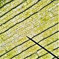 Turgid Elodea Cells under 400X Magnification.jpg
