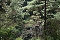 Turkish pine trees, Canyon Kapıkaya 15.JPG