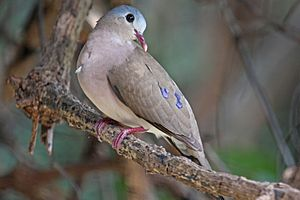 Blue-spotted wood dove - In Gambia