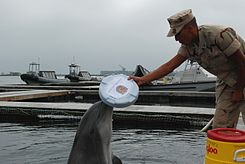 US Navy 101013-N-0363B-063 Marine mammal handler Gunner's Mate 3rd Class Manuel Gonzalez and a bottlenose dolphin, both assigned to Explosive Ordna.jpg