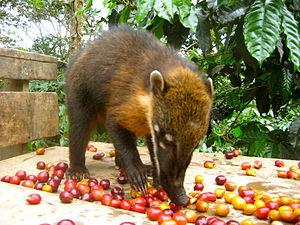 South American coati - A coati eating coffee bean