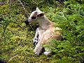 Un faon caribou.jpg