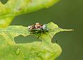Unbekanntes Insekt 8371.jpg