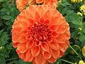 Unidentified Dahlia 2007 10010392.jpg