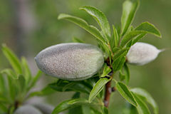 Unripe almond on tree.jpg