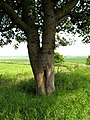 Unusual shaped tree - geograph.org.uk - 839744.jpg