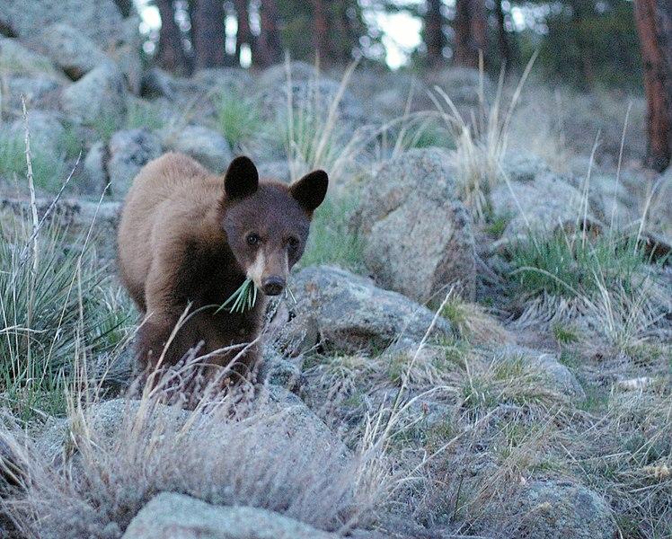 File:Ursus americanus boulder colorado.jpg