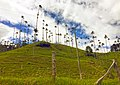 Valle del cocora - wax palm 02.jpg